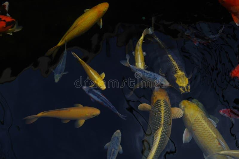 在清楚的淡水的给催眠的特别美丽的颜色koi鱼 免版税图库摄影