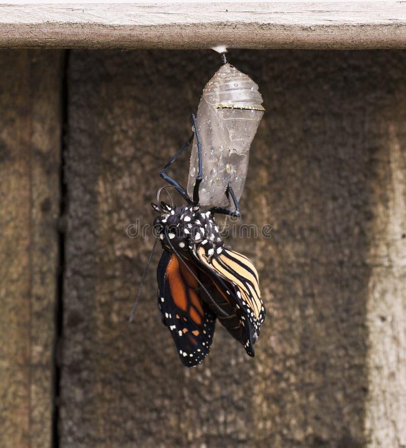 在清楚的蝶蛹的最近新兴黑脉金斑蝶 库存照片