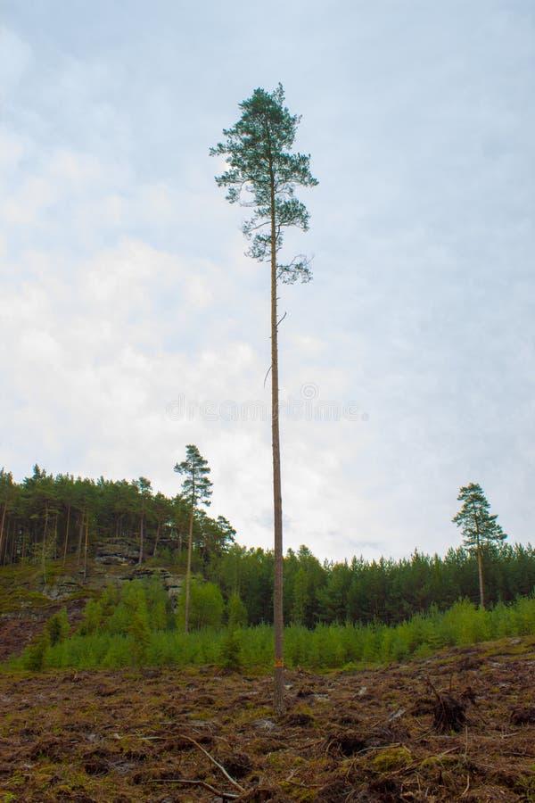 在清洁的一棵孤立高大的树木 免版税图库摄影