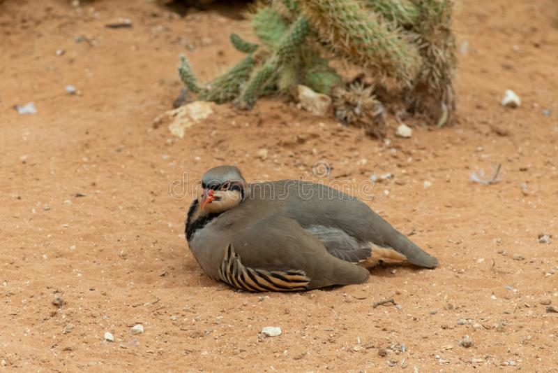 在清洗或自夸自己的沙漠沙子和停留的Chukar鹧Alectoris chukar步行在阿拉伯联合酋长国 库存图片