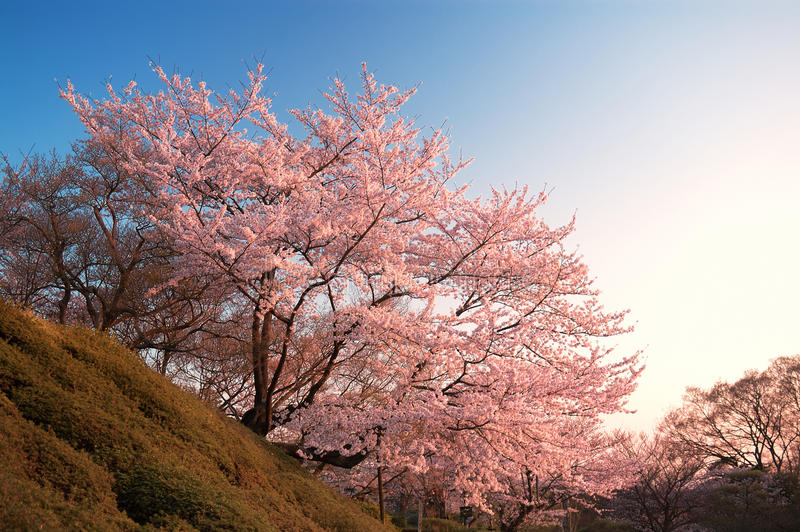 在清水寺的樱花,京都,日本 库存照片