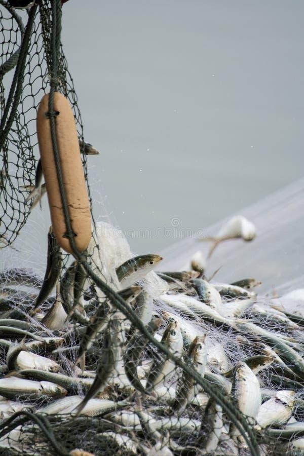 在渔夫小船上,抓许多鱼 库存图片
