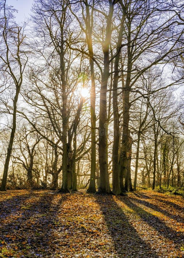 在渥斯特夏的一个晴朗的冬天森林地早晨 图库摄影