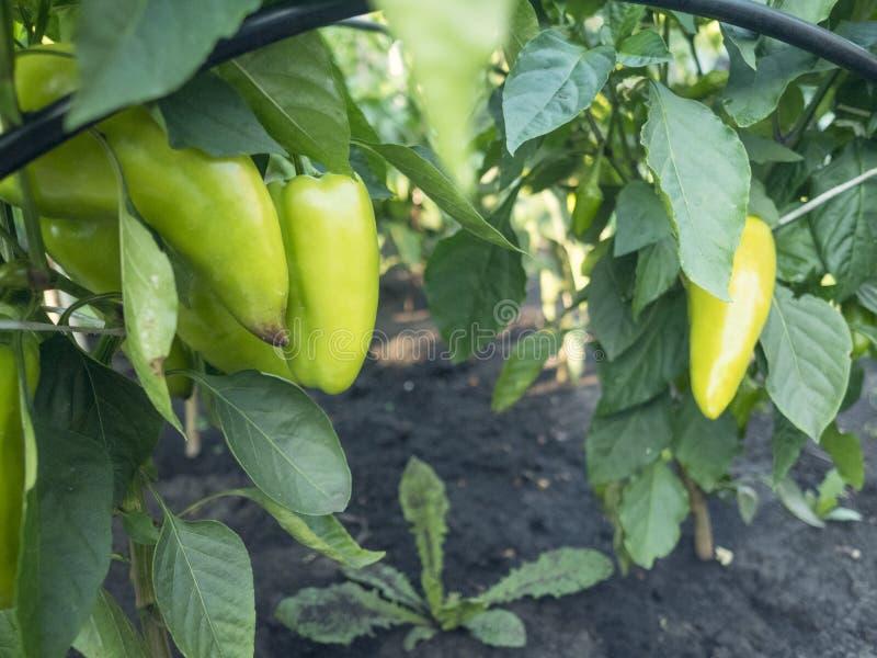 在温室特写镜头的美丽的大增长的甜椒 在宏观的分支的新鲜的水多的红辣椒 库存图片
