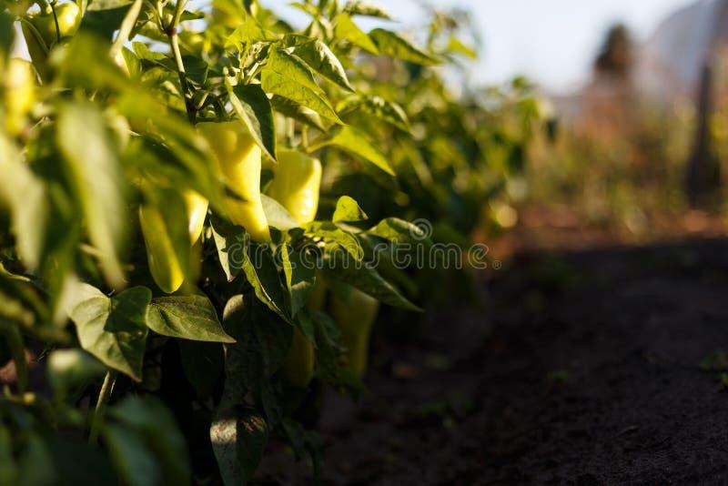 在温室特写镜头的美丽的大生长甜椒 在分支宏指令的新鲜的水多的黄色胡椒 免版税库存照片