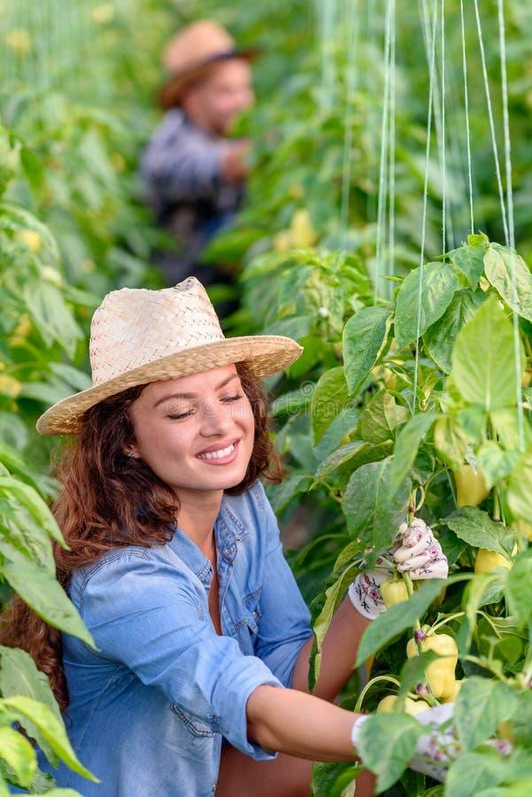 在温室的男人和妇女增长的有机蔬菜 库存照片