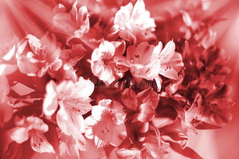在温暖的红色和白色软的颜色,在太阳光芒特写镜头的百合花的美好的花卉背景 免版税库存图片