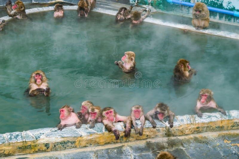 在温泉函馆,日本在参议员的,日本雪猴子短尾猿 免版税图库摄影