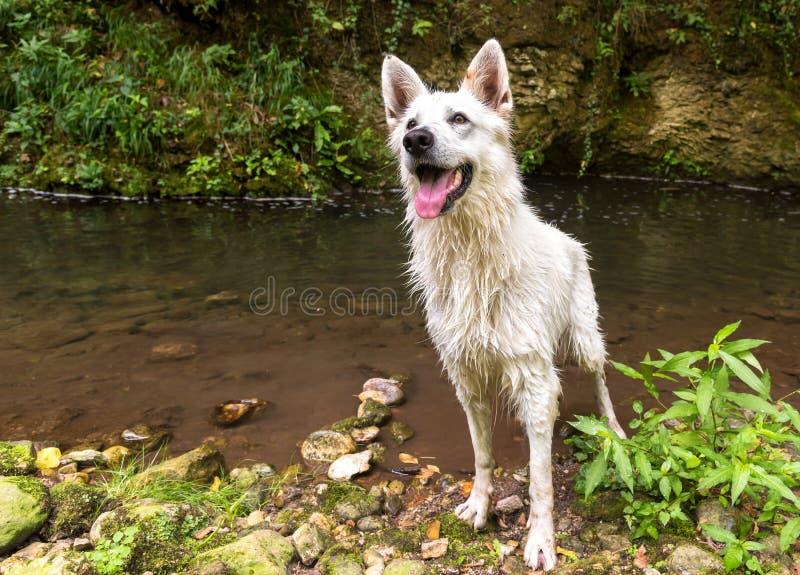 在游泳以后弄湿白色瑞士牧羊犬在湖 免版税库存图片