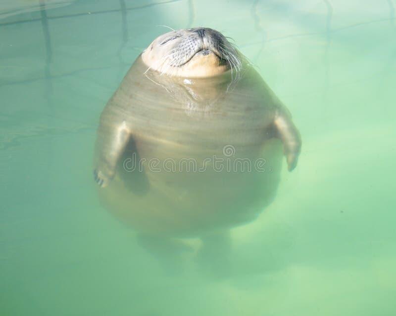在游泳池的轻松的密封 库存图片