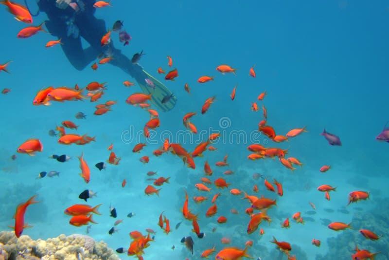 在游泳的去珊瑚潜水员 库存图片