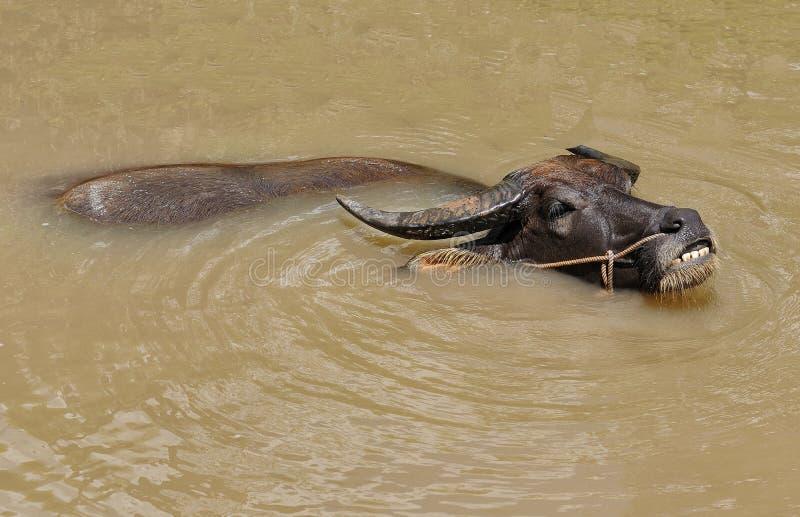 在湄公河三角洲的水牛 库存图片