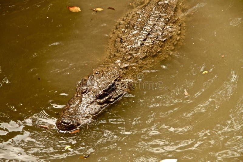 在湄公河三角洲的鳄鱼,越南 库存照片