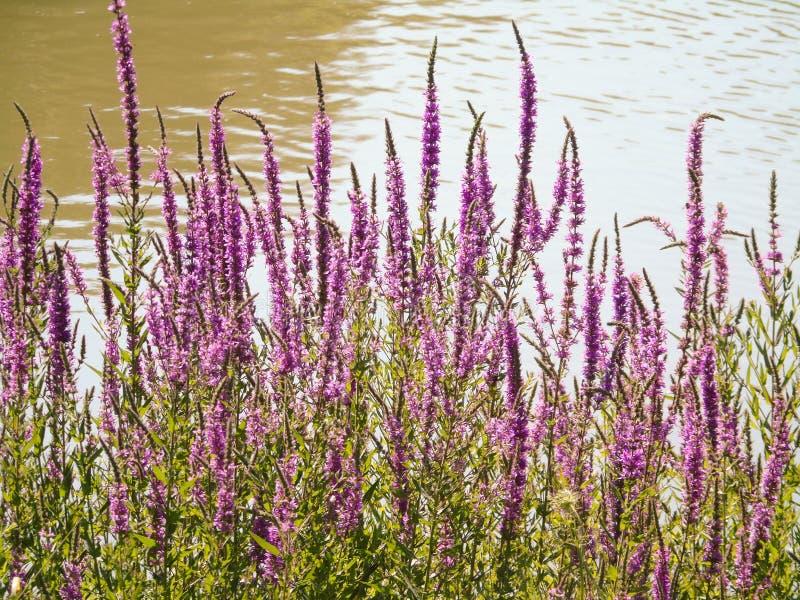 在湖、风景、自然、植物和水的岸的紫色花 免版税库存照片