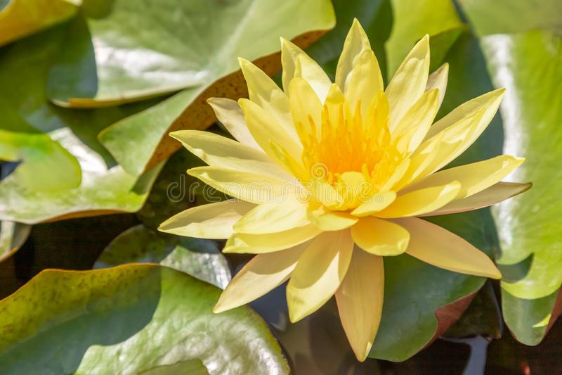 在湖公园庭院池塘顶视图的黄色荷花 库存图片