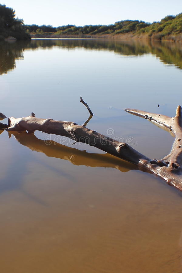 在湖内的树干 库存图片