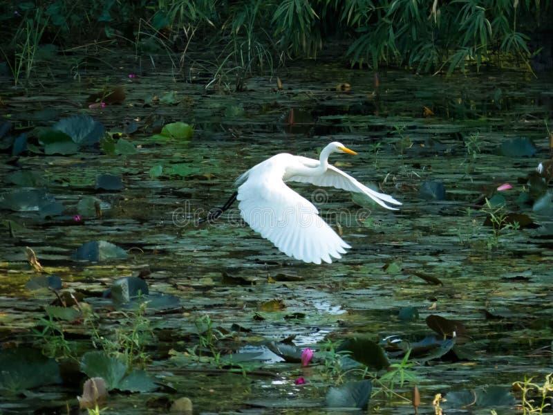 在湖反射的巨大白鹭鸟飞行在水中 库存照片