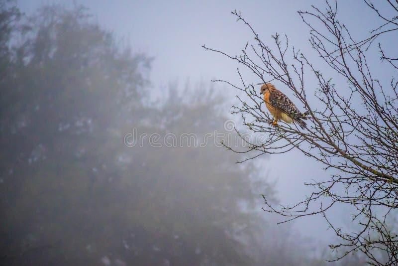 在湖小山的红被担负的鹰,得克萨斯 库存照片