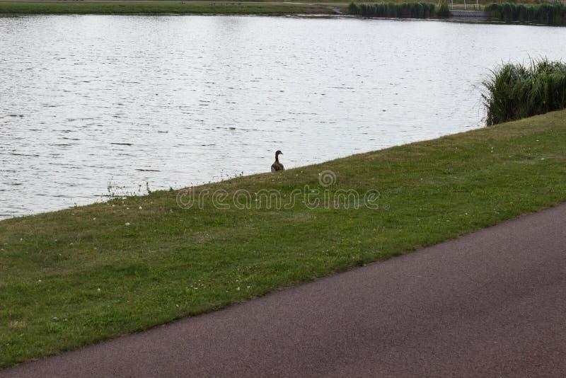 在湖岸的孤独的鸭子 库存照片