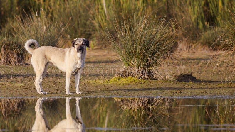 在湖岸的阿纳托利安牧羊犬 免版税库存照片