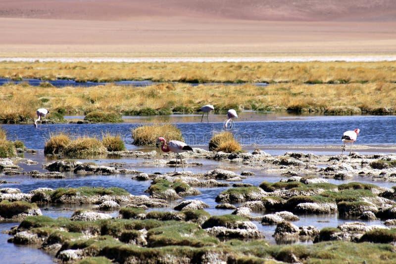 在湖有石湖边和干草的和被弄脏的沙漠在背景中-阿塔卡马沙漠,智利的野生火鸟 免版税库存照片