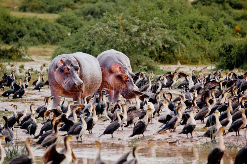 在湖海岸的两匹河马立场 免版税库存照片