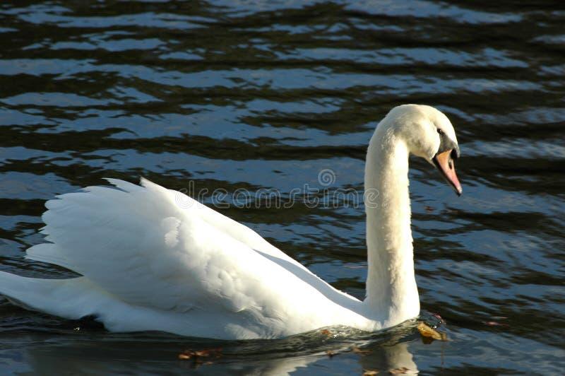 在湖的一只白色天鹅 免版税库存照片