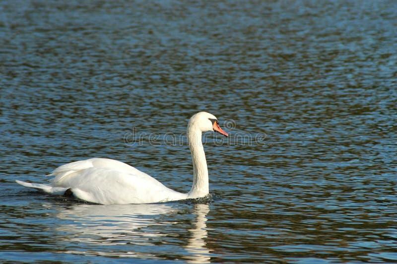 在湖的一只白色天鹅 库存图片