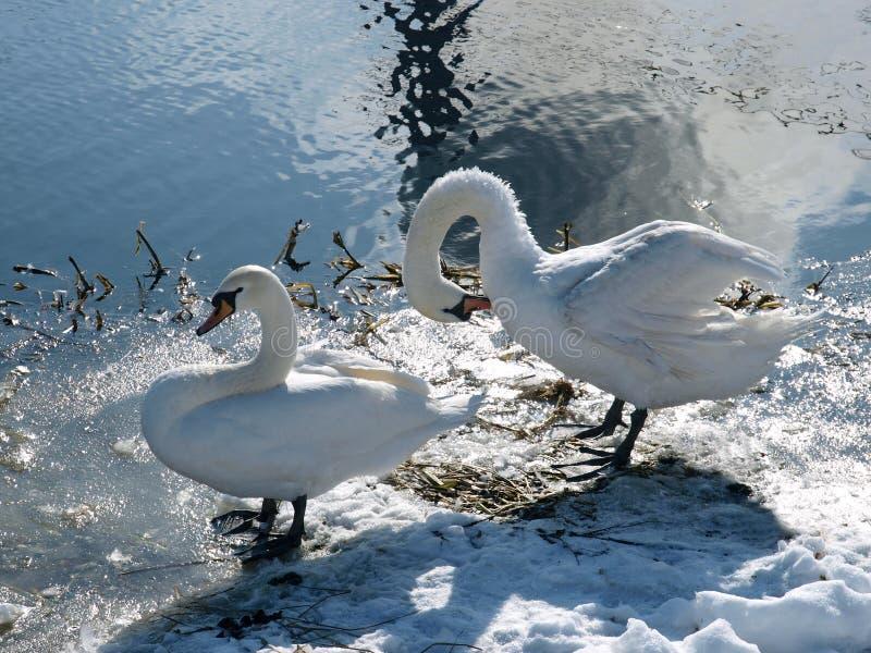 在湖的两只白色天鹅在冬天 免版税库存图片