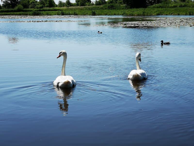 在湖的两只白色天鹅 库存照片