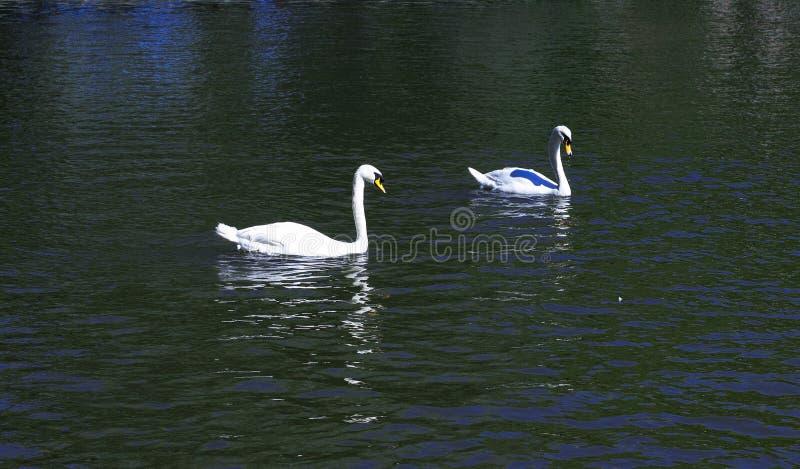 在湖的两只白色天鹅 免版税图库摄影