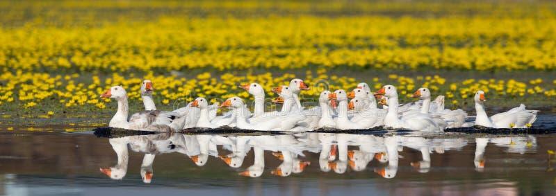 在湖的国内鹅群 免版税图库摄影