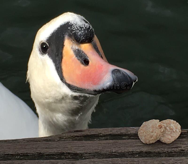 在湖的天鹅 免版税库存照片