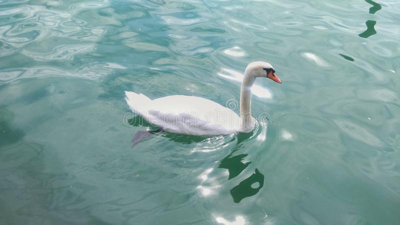 在湖的天鹅 库存图片
