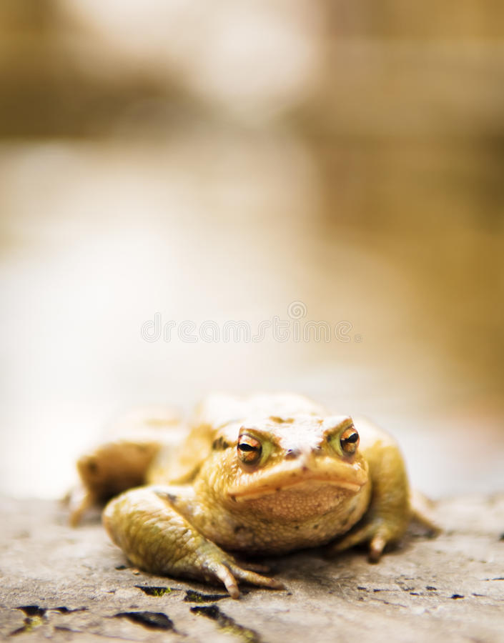 蟾蜍 图库摄影