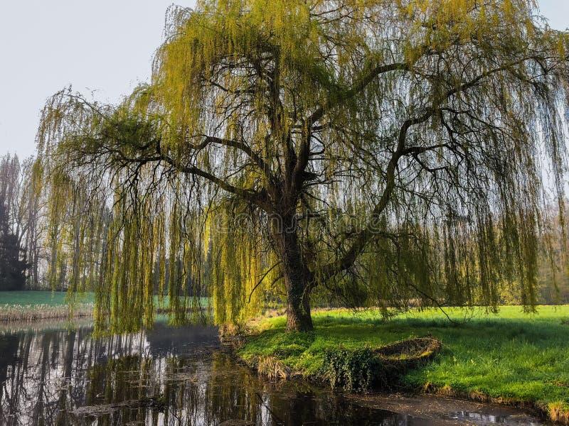 在湖的岸的划艇在垂柳树,比利时,欧洲下 免版税库存图片