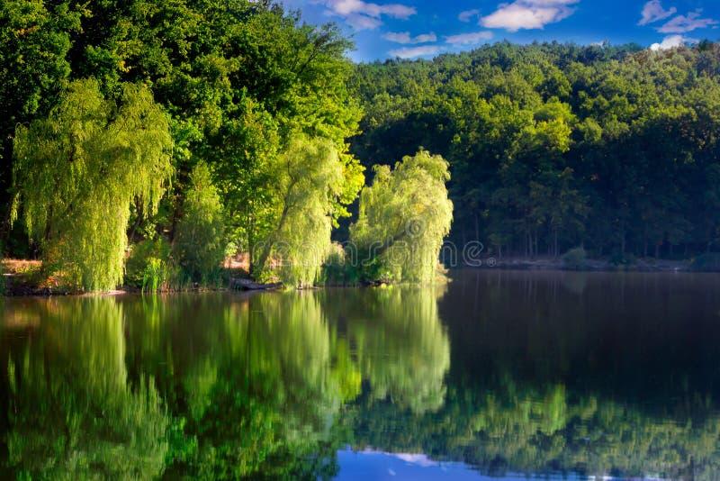 在湖的岸的杨柳 免版税库存图片