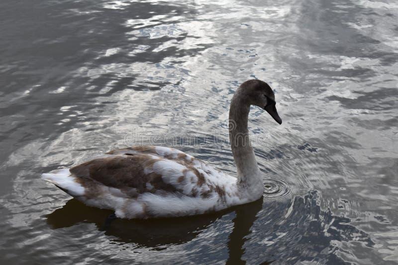 在湖的幼小天鹅 免版税库存图片