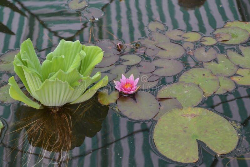 在湖的桃红色荷花花有绿色叶子的 免版税库存图片