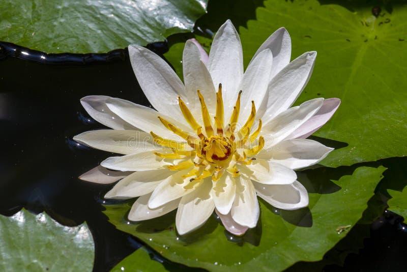 在湖的浪端的白色泡沫百合 晨曲星莲属 免版税图库摄影
