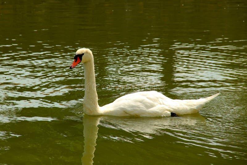 在湖的浮动白色天鹅 免版税库存图片
