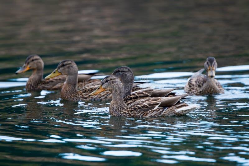 在湖的游泳的野鸭 库存照片