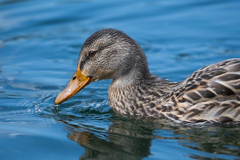 在湖的游泳的野鸭 免版税库存照片