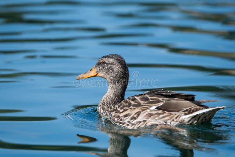 在湖的游泳的野鸭 免版税库存图片