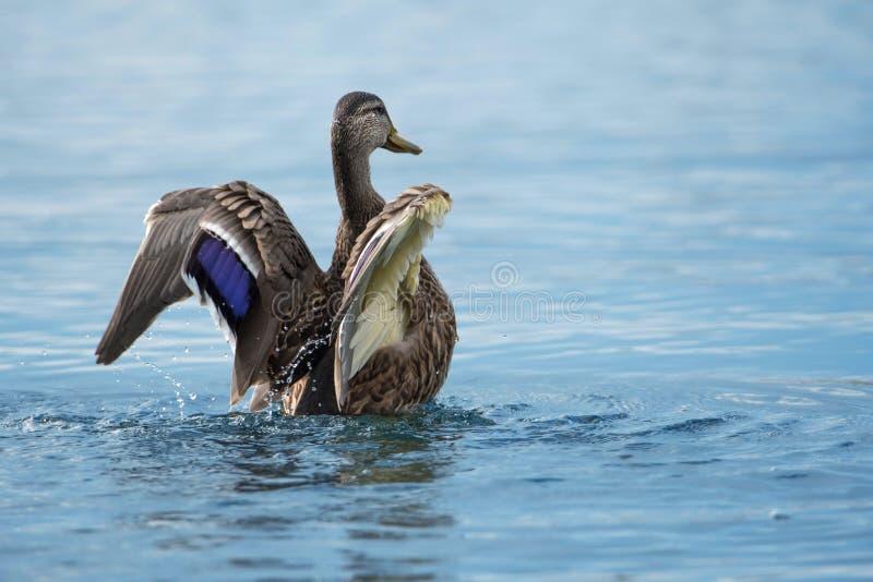 在湖的游泳的野鸭 库存图片