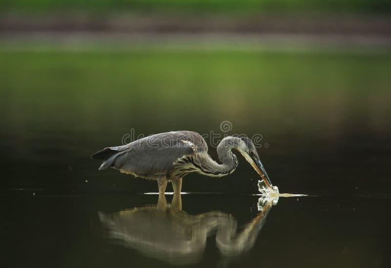 在湖的灰色苍鹭渔 库存照片