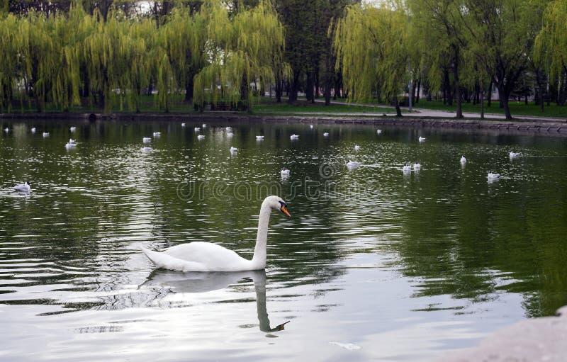 在湖的白色天鹅在春天城市公园,侧视图 免版税库存照片