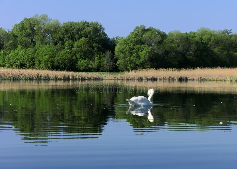 在湖的白色天鹅在森林附近 库存照片