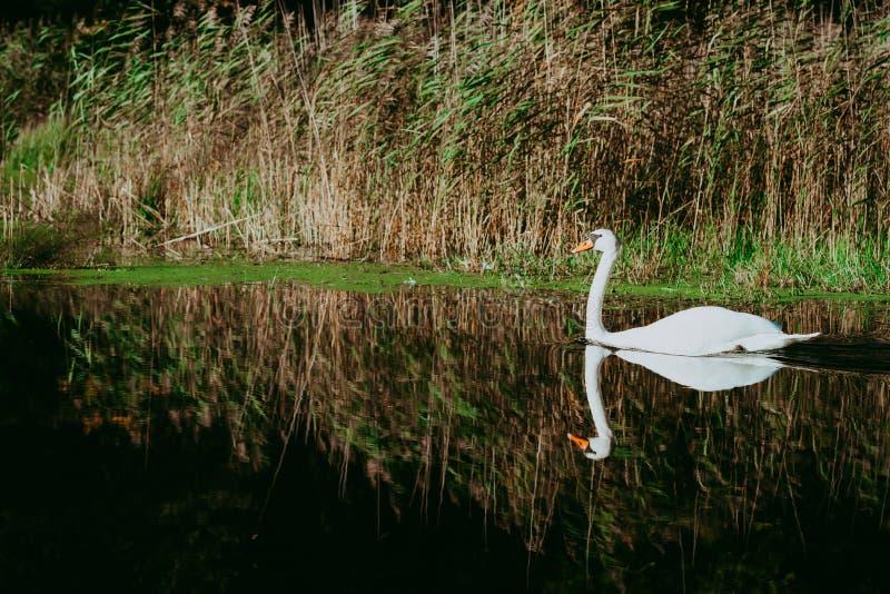 在湖的白色天鹅春天森林白色天鹅游泳的在池塘,与有些芦苇的侧视图在背景中 图库摄影