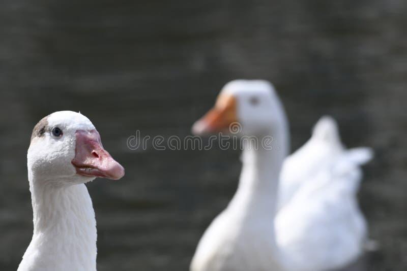 在湖的白色鸭子在马里兰 免版税库存照片